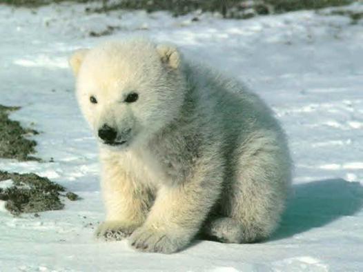 bébé ours blanc mignon