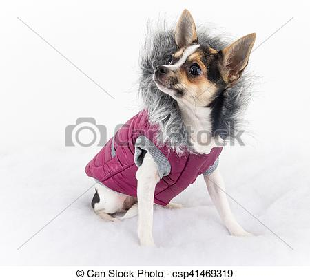 manteau chihuahua