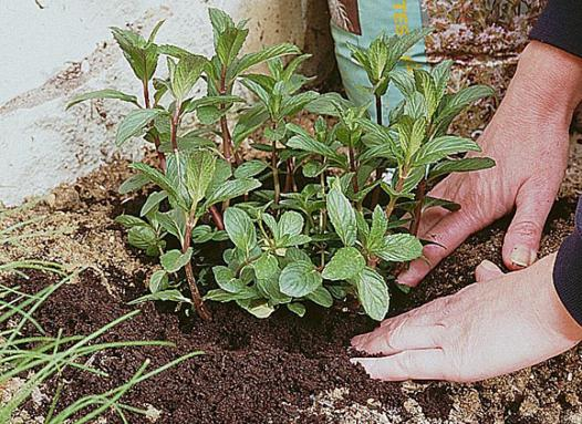 menthe a planter
